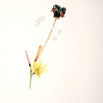 Rodofiala Amarilla y Nasauvia