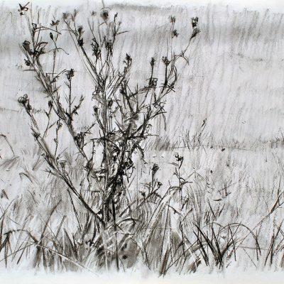 Tandil, cardo, 2007. Carbón, 56 x 76 cm